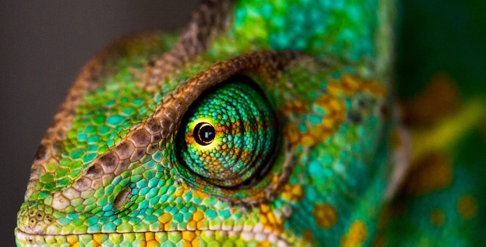 Close up photograph of a chameleon's face